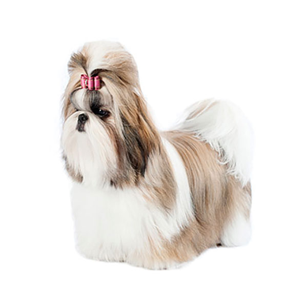 Shih Tzu Dog Breed Profile Purina