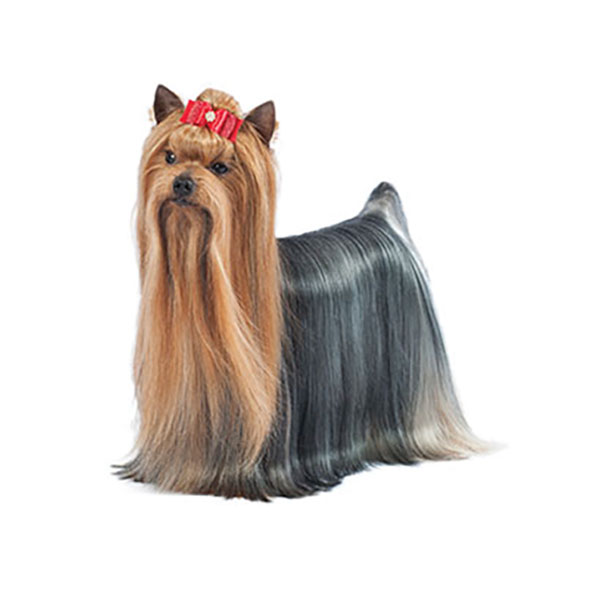Yorkshire Terrier Dog Breed Profile Purina