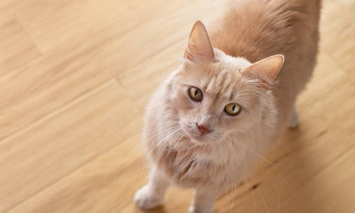Cat Asthma Article