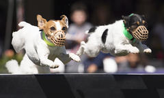 Jack Russell Hurdle Training Thumbnail
