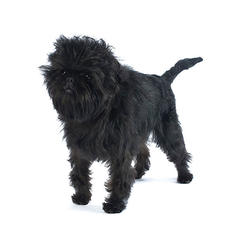 Small, black Affenpinscher with a wiry coat that's longer around his face and shoulders.